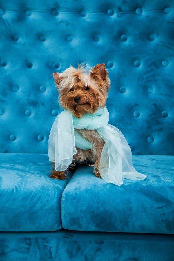 Do Natal azul tiffany do ano novo do animal de estimação do cão da cor de turquesa do sofá da sessão de foto brinquedo vermelho d imagem de stock royalty free