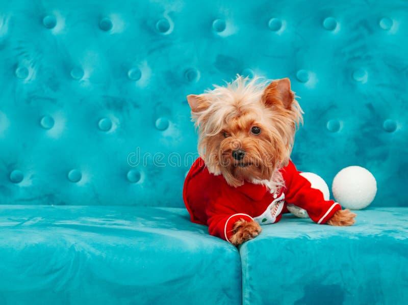 Do Natal azul tiffany canino do ano novo do animal de estimação do cão da cor de turquesa do sofá da foto brinquedo vermelho do s imagens de stock