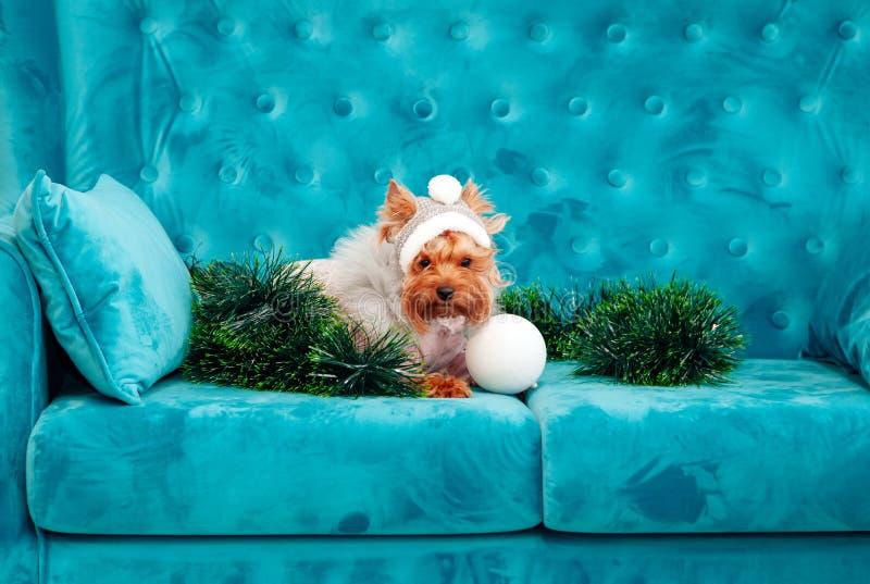 Do Natal azul tiffany canino do ano novo do animal de estimação do cão da cor de turquesa do sofá da foto brinquedo vermelho do s imagem de stock