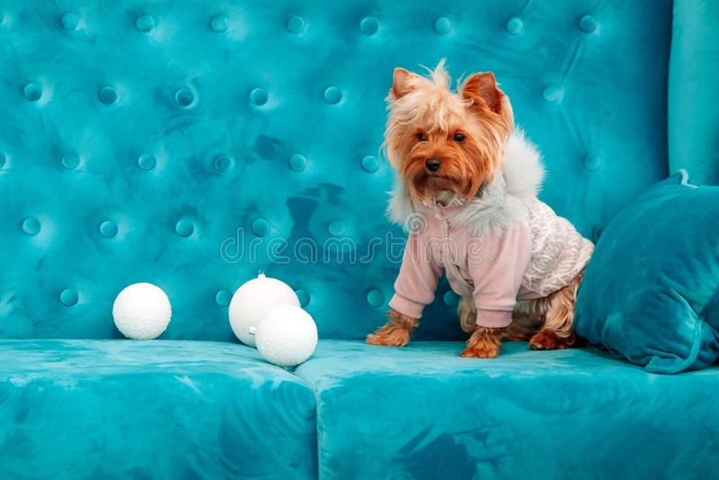 Do Natal azul tiffany canino do ano novo do animal de estimação do cão da cor de turquesa do sofá da foto brinquedo vermelho do s fotografia de stock royalty free