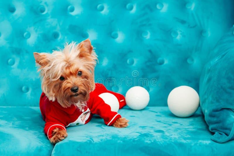 Do Natal azul tiffany canino do ano novo do animal de estimação do cão da cor de turquesa do sofá da foto brinquedo vermelho do s fotos de stock royalty free