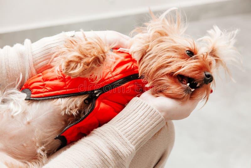 Do Natal canino do ano novo do animal de estimação do cão da sessão de foto brinquedo vermelho do proprietário da mão do terrier foto de stock royalty free