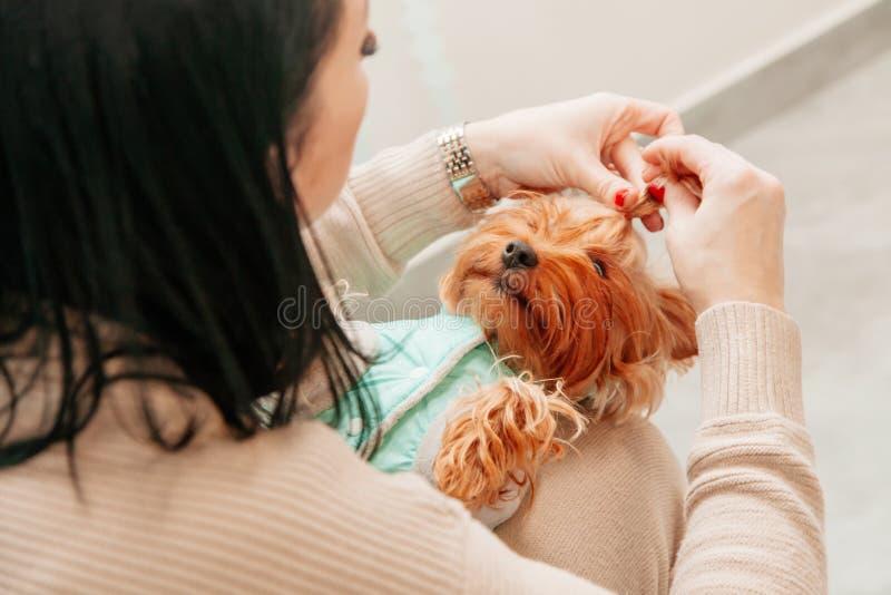 Do Natal canino do ano novo do animal de estimação do cão da sessão de foto brinquedo vermelho do proprietário da mão do terrier fotos de stock royalty free