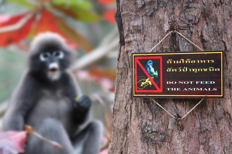 Do not feed the animals sign on the tree with the monkey. Thai and English languages, Do not feed the animals sign on the tree with the monkey ,Dusky langur royalty free stock photo