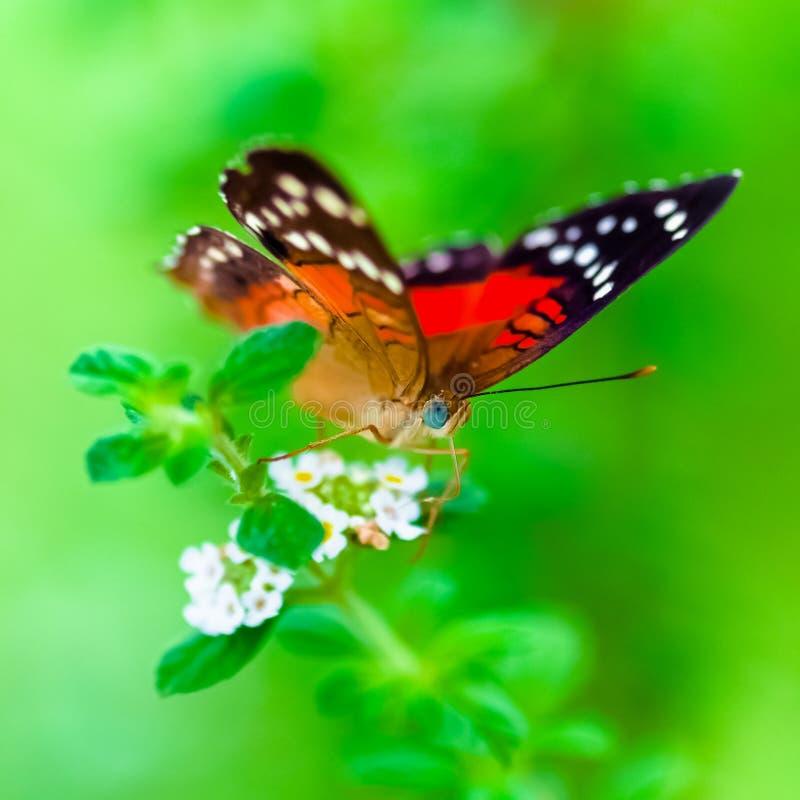 Do pavão do anartia do amathea buterfly do verde do fundo escarlate da composição do quadrado imagem de stock royalty free