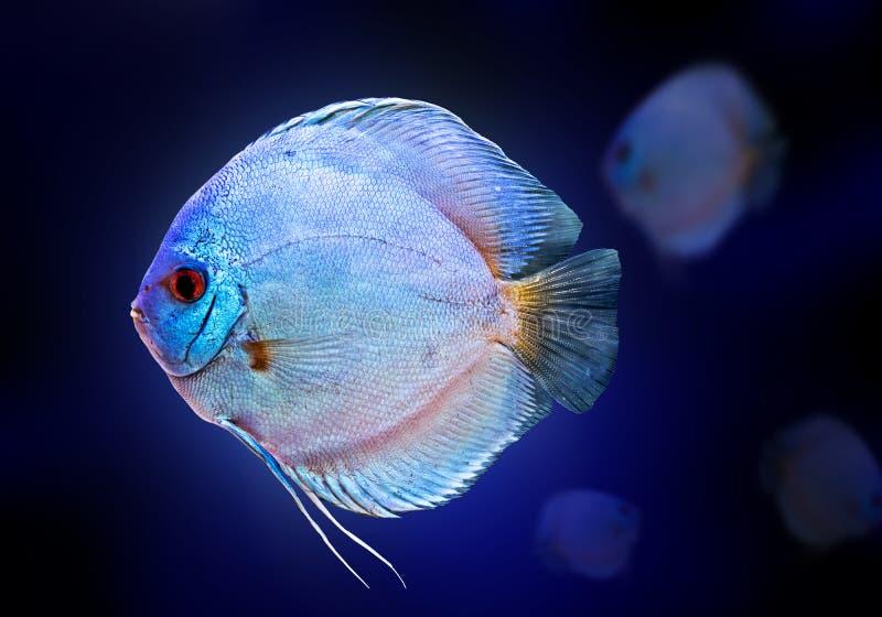 Do preto exótico dos peixes de Diskus o azul branco da cor do aquário isolou o animal da natureza do fundo imagens de stock royalty free