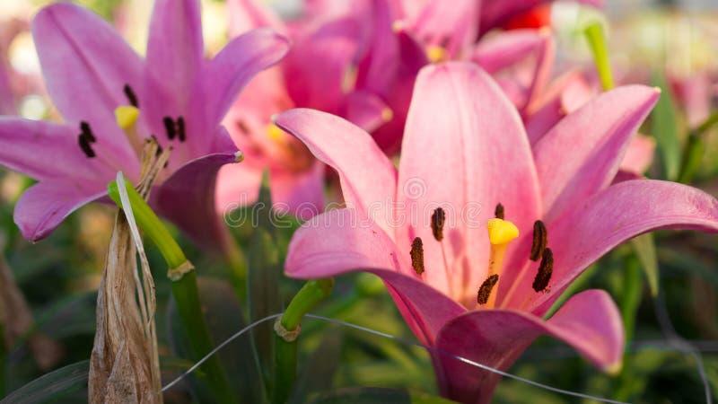 Download Do rosa jardim lilly foto de stock. Imagem de bouquet - 65580602