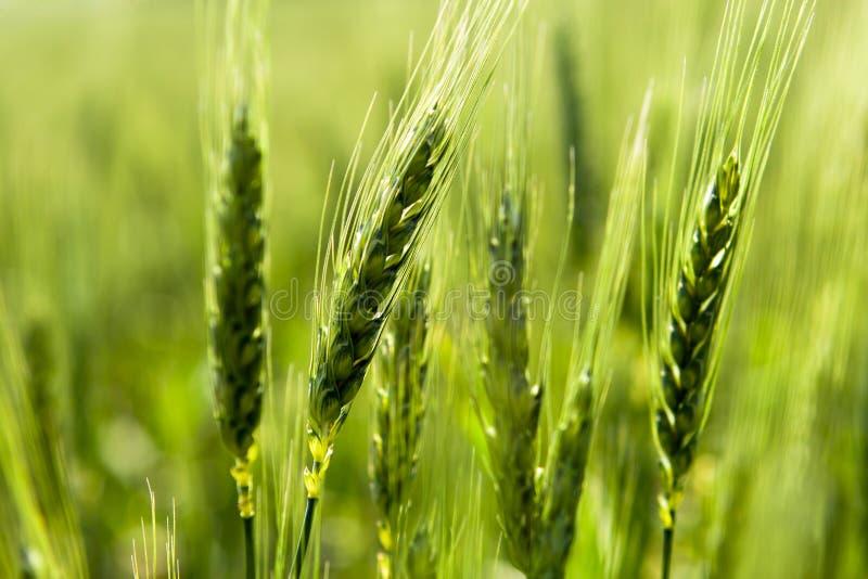 Do trigo no campo. fotos de stock royalty free