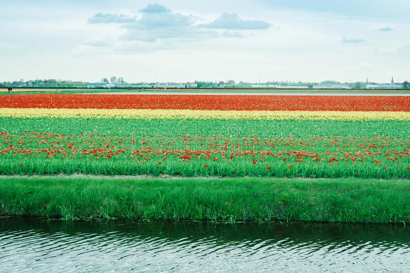 do Tulip, Holland Flores coloridas na primavera foto de stock