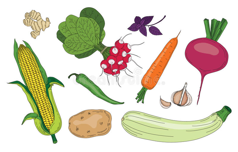 Do verde fresco da mola dos vegetais e das ervas coleção orgânica do vetor ilustração do vetor