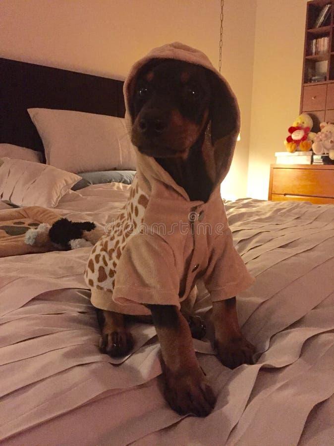 Doberman младенца с hoodie на кровати стоковое изображение rf