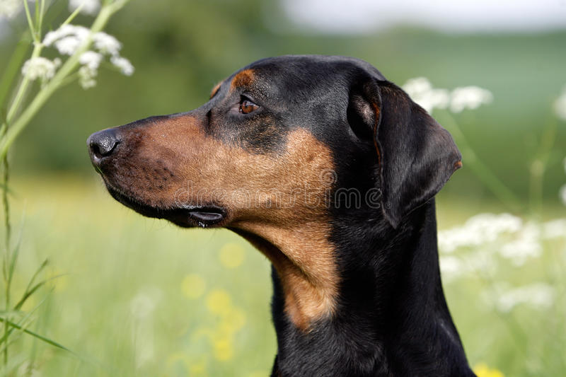 Download Doberman stock photo. Image of lateral, outdoor, animal - 12901622