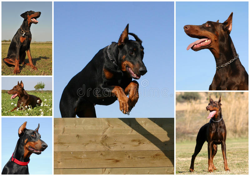 doberman royaltyfria foton