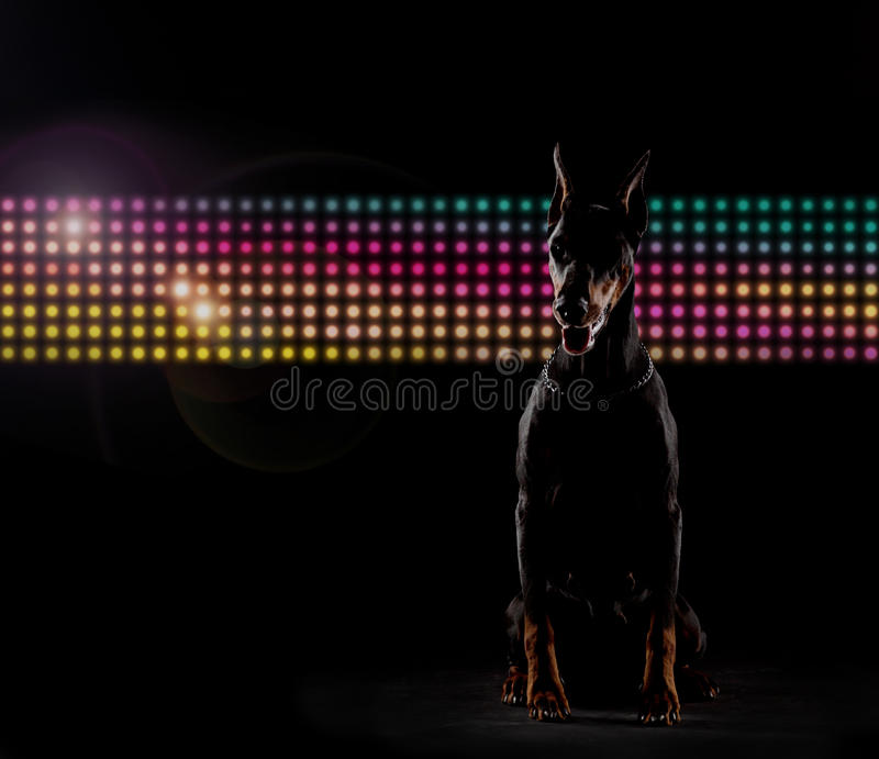 Download Doberman stock image. Image of majestic, nobody, flares - 17308929