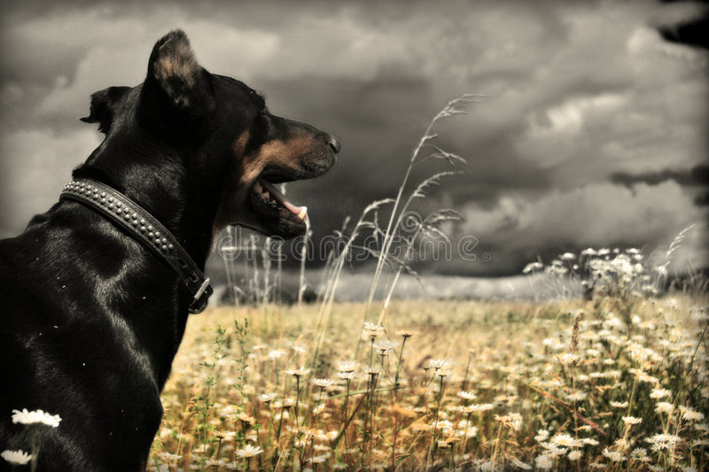 Doberman immagine stock