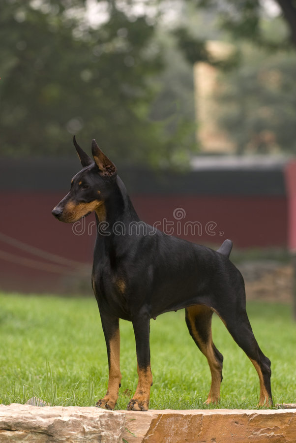 Download Doberman stock photo. Image of pastes, color, wedge, very - 6783974