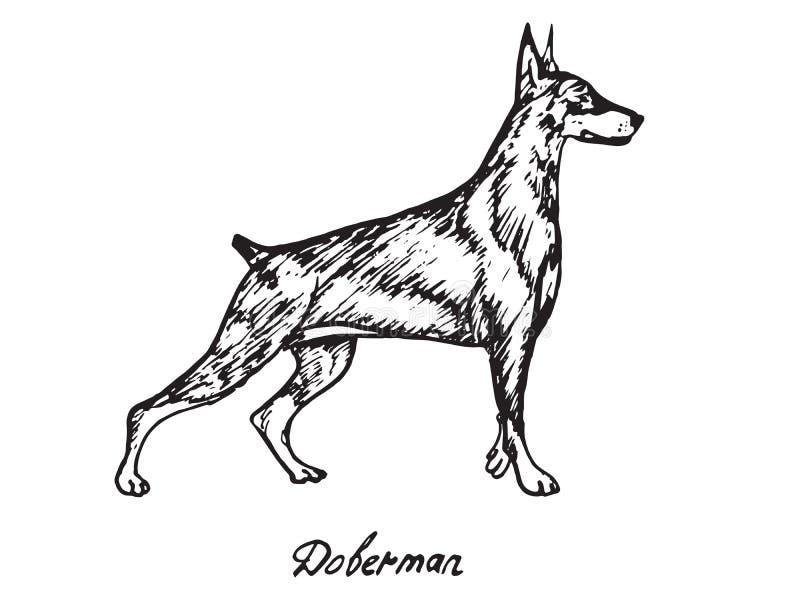 Doberman illustrazione vettoriale