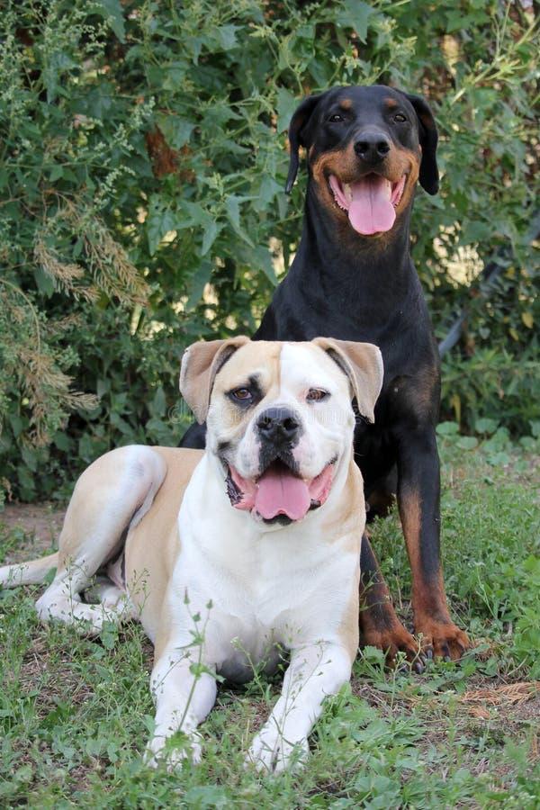 Doberman and American Bulldog royalty free stock photography