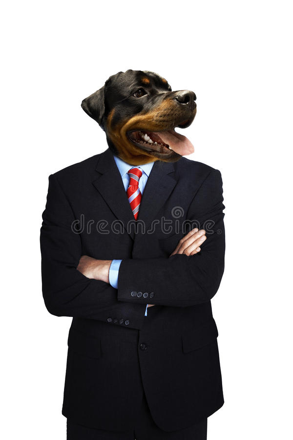 Doberman Businessman standing with arms folded royalty free stock photography