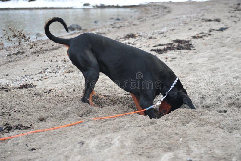 Doberman che scava sulla spiaggia fotografie stock