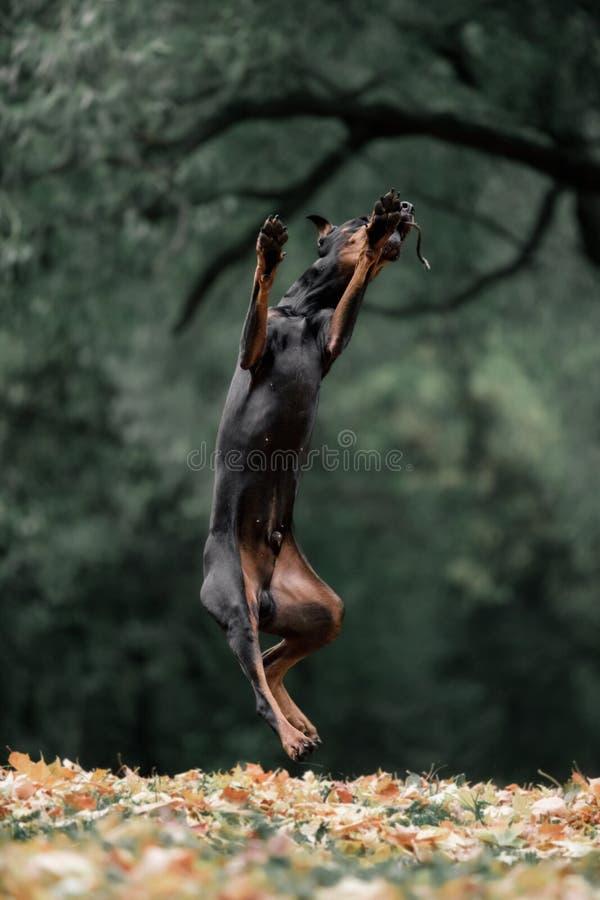 Doberman de la raza del perro que salta en el fondo del bosque verde imágenes de archivo libres de regalías