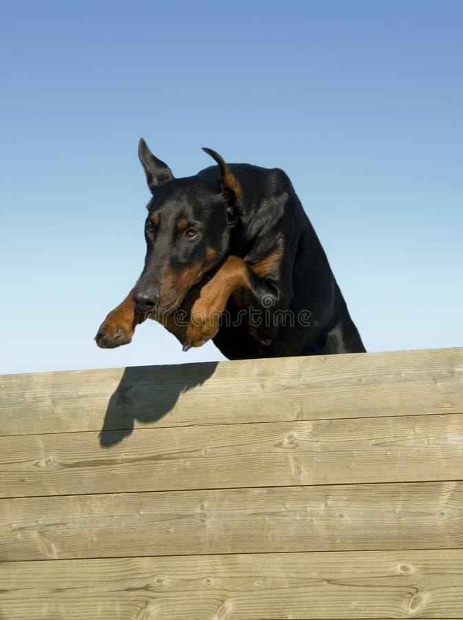 Doberman di salto immagine stock