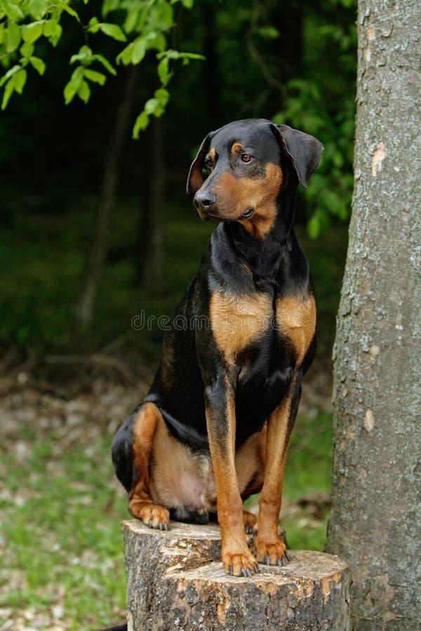 Doberman dog stock photography