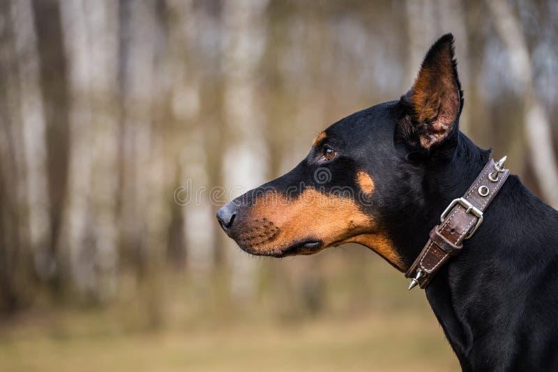 Doberman dog royalty free stock photos
