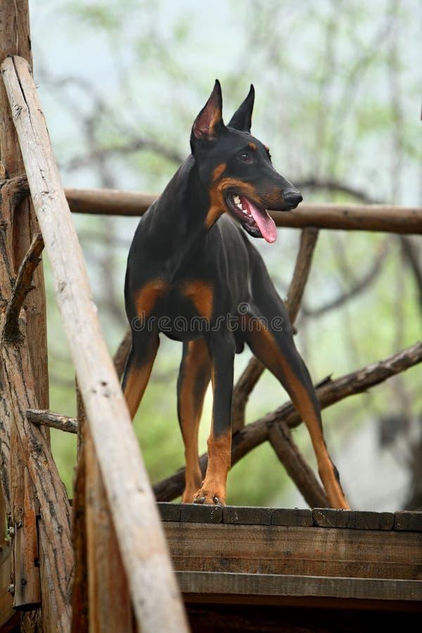 Doberman dog stock image