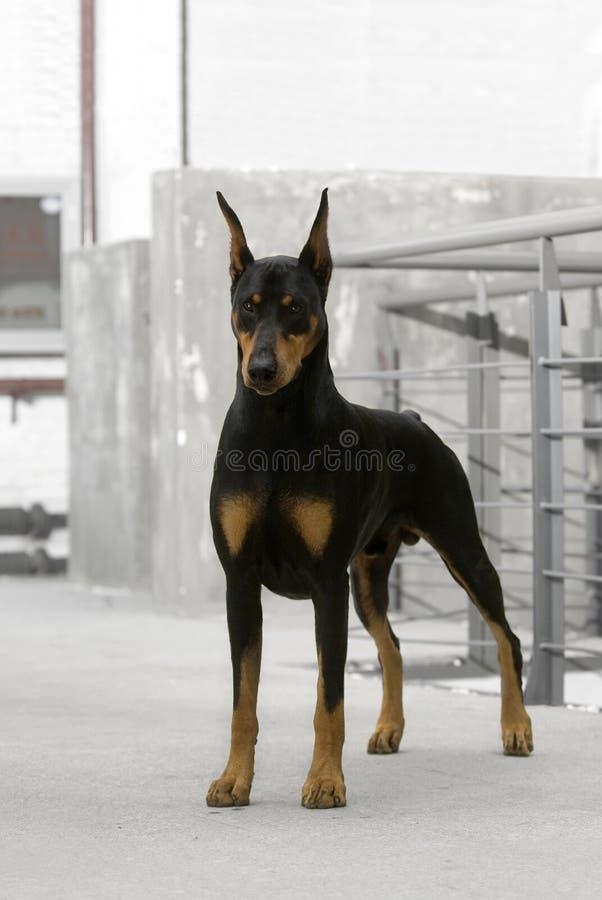 Download Doberman dog stock image. Image of lovely, happy, breed - 6788141