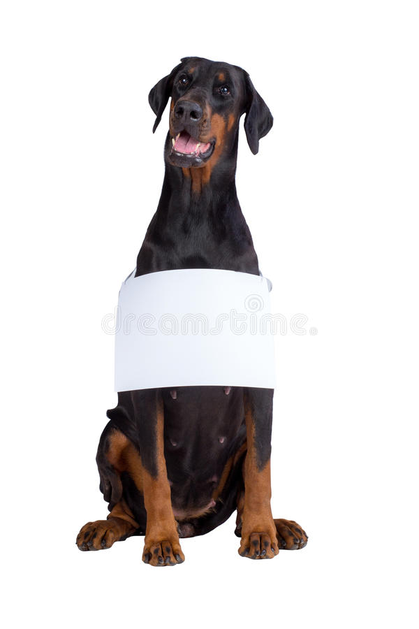 Doberman dog with blank sign royalty free stock photo