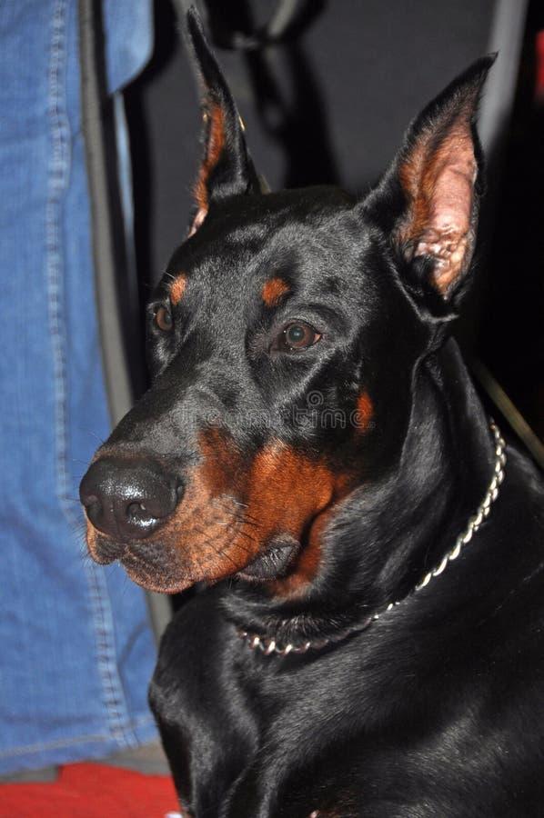 Download Doberman dog stock image. Image of black, domestic, purebred - 39513359