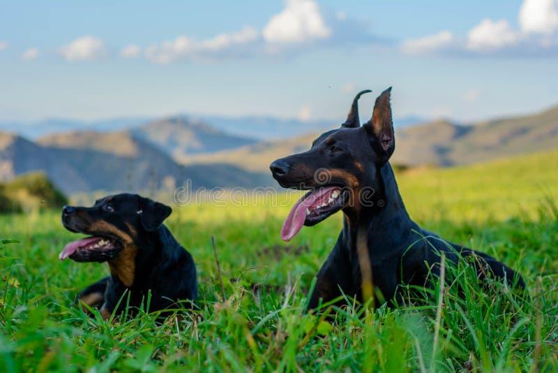 Doberman e Rottweiler immagini stock