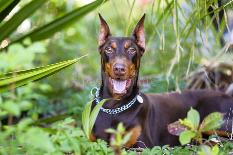 Doberman för avel för husdjurhund som är glad, i att se hans kupol royaltyfri foto