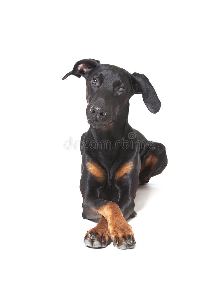 Download Doberman Pincher stock photo. Image of down, protective - 31703686