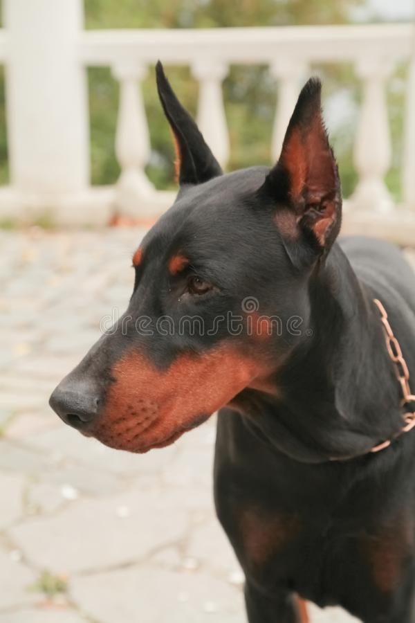 Doberman Pincher relaxing in the autumn park. Portrait of black dog. Beautiful big angry black dog walking alone on the nature stock image
