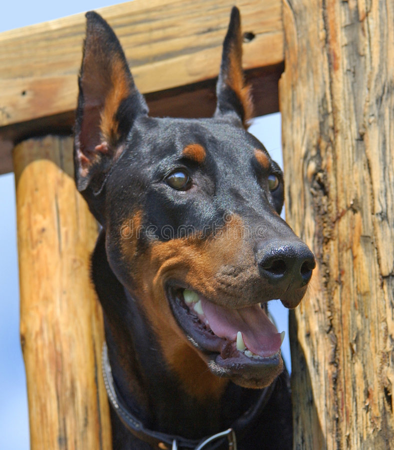 doberman pinscher obraz stock