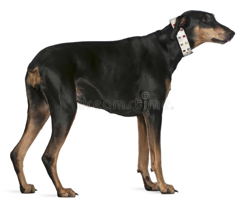 Download Doberman Pinscher, 9 Years Old, Standing Stock Image - Image: 20376523
