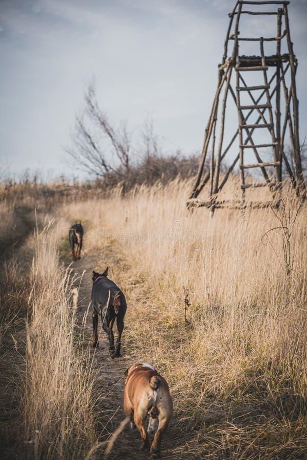 Doberman pinscher and english bulldog stock images