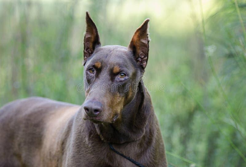 Doberman pinscher hond royalty-vrije stock afbeelding