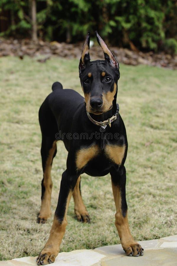Doberman Pinscher Puppy Stock Photos