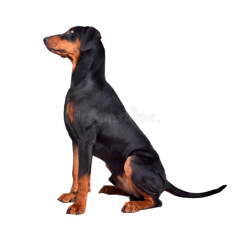 Doberman pinscher puppy stock fotografie