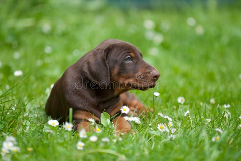 Download Doberman puppy stock photo. Image of summer, laying, mammal - 22563500
