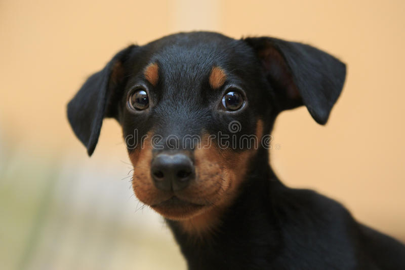 doberman puppy stock image image of close resentful 66765455