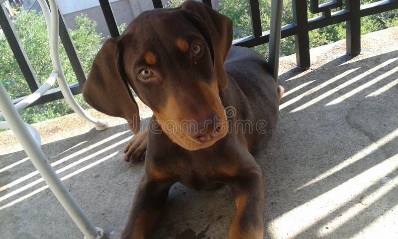 Doberman puppy. Poser in the sun stock photography