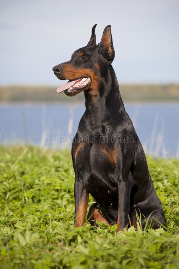 Doberman puppy. Young black doberman sitting on the green grass stock photography
