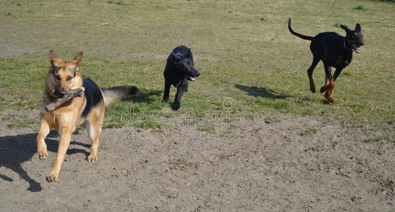 Doberman and two German Shepherd dogs running royalty free stock photo
