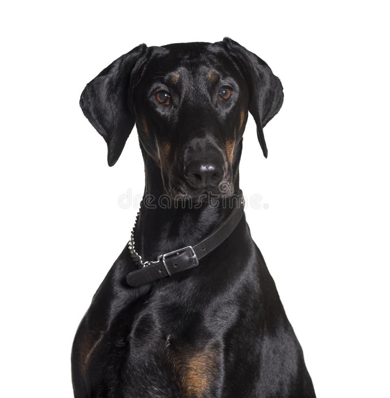Download Doberman wearing collar stock photo. Image of portrait - 113970722