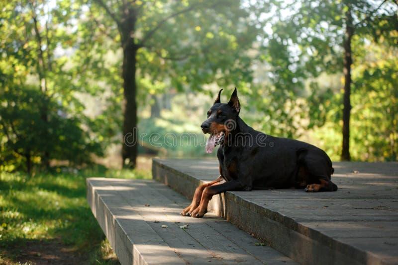 Dobermanhond, mooi huisdier stock afbeelding