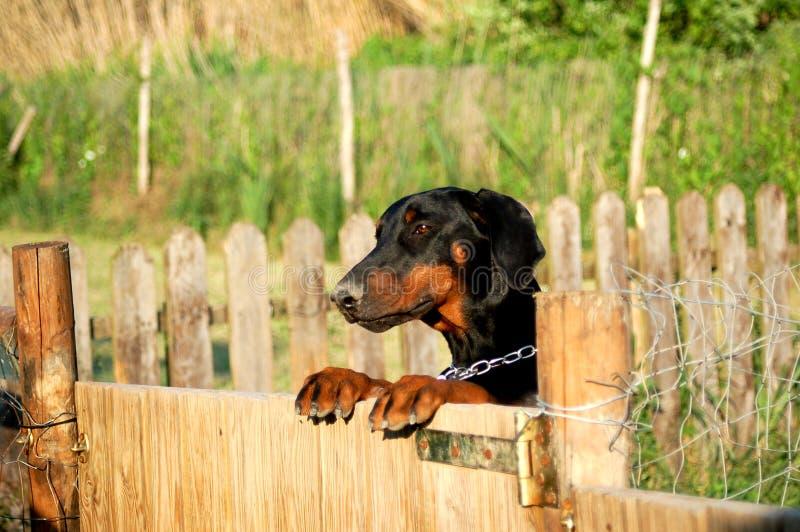 Dobermann вверх на загородке стоковое фото